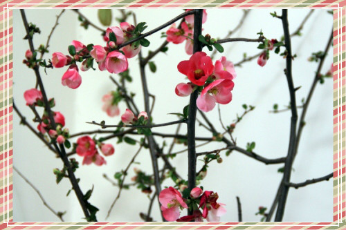 quince blooming branches